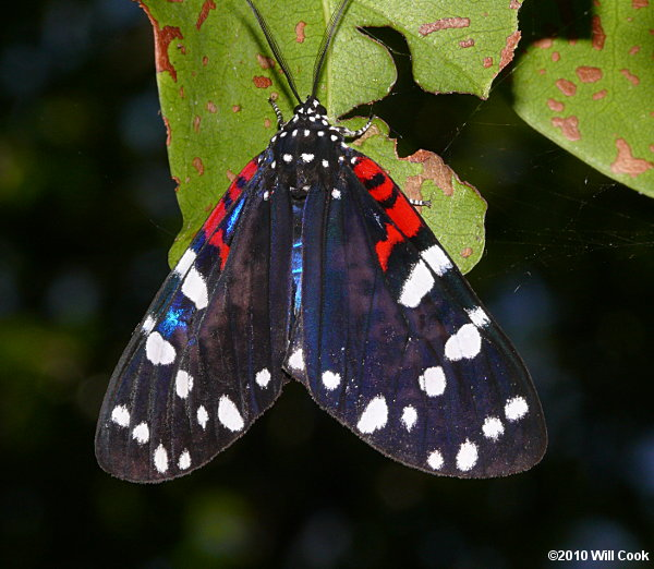 Faithful Beauty Moth (Composia fidelissima)