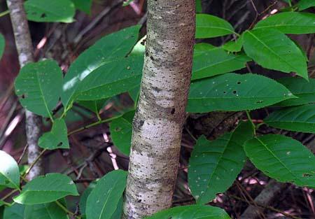 Poison Sumac Toxicodendron Vernix,Horse Lifespan